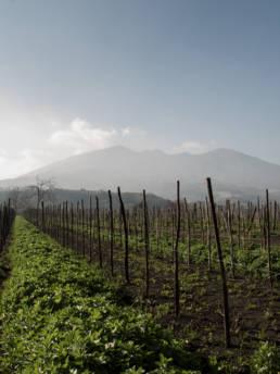 Vini Cantine Olivella | Nel cuore del complesso vulcanico Somma-Vesuvio